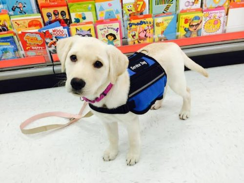 This puppy is in training for those who have PTSD.