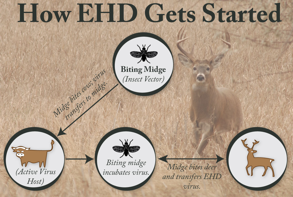 This chart shows the path that the virus EHD takes in order for a deer to obtain the virus that will eventually lead to its death.