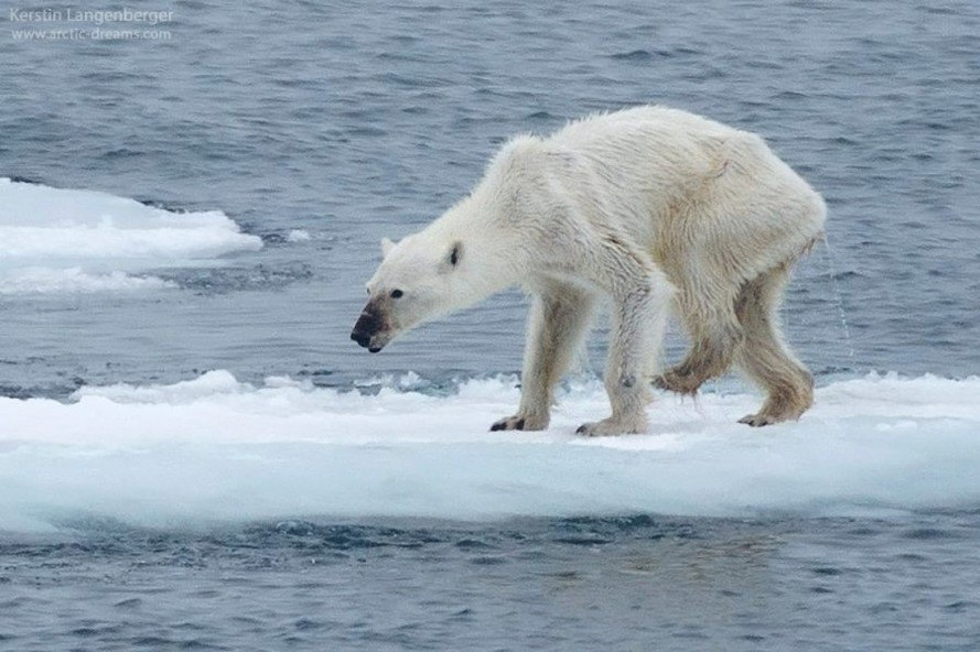 Global+warming+has+a+large+effect+on+polar+bears+making+them+skinnier+and+starving.