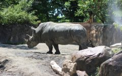 Although, this rhinocero is being held in a zoo, it will never have to deal with the pollution that is causing a population decline in natural ecosystems.