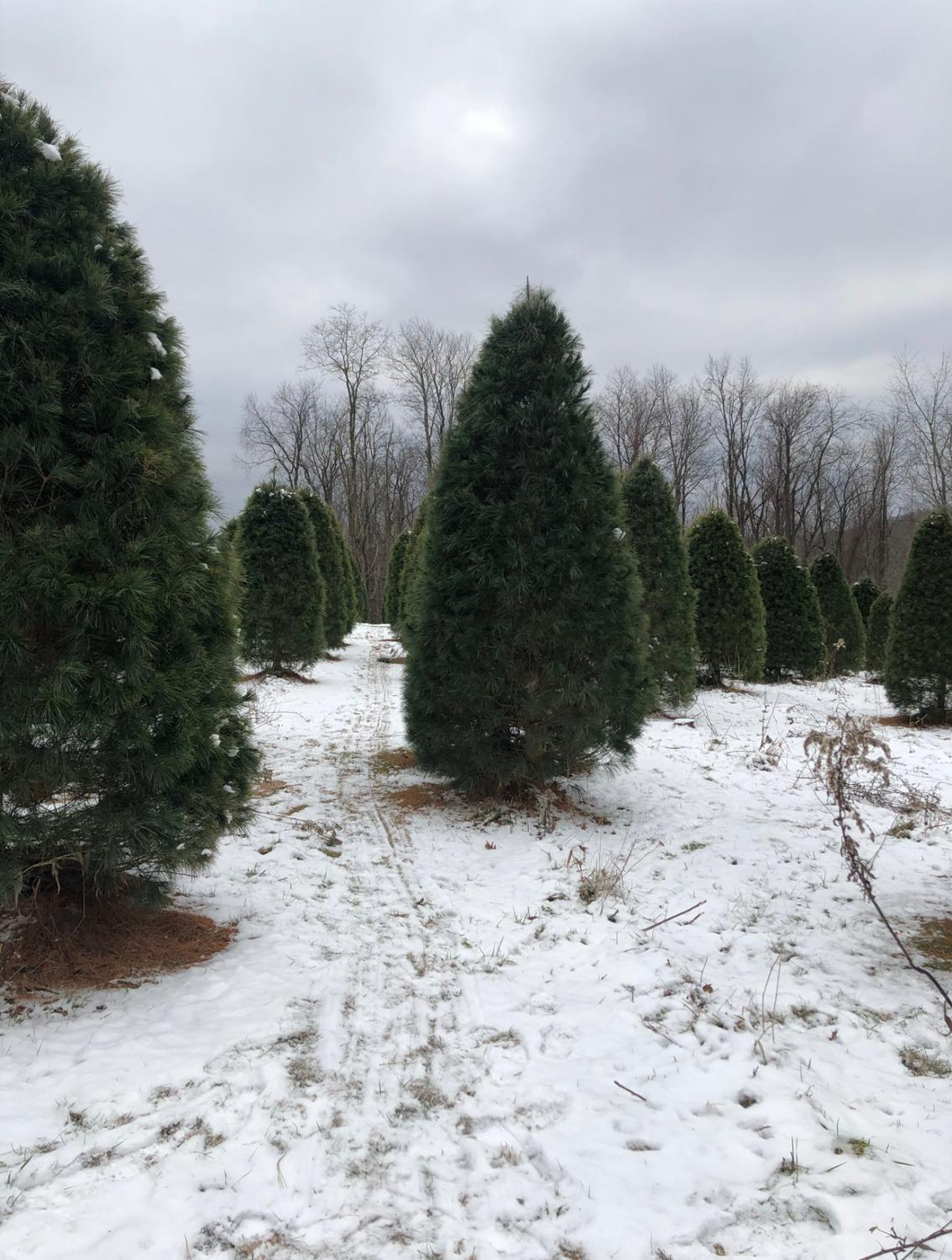 There are hundreds of different trees to choose from at local tree farms.