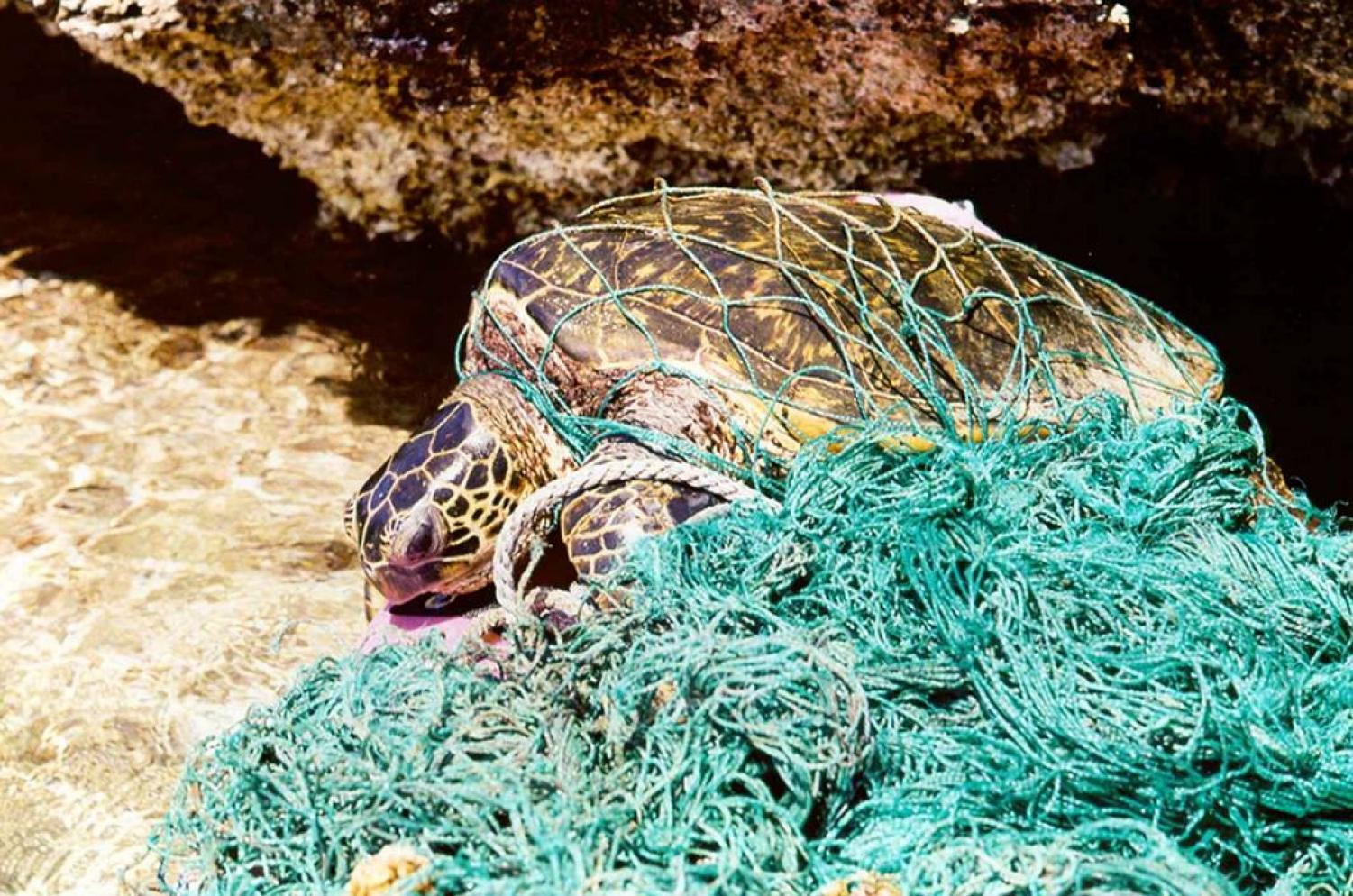 Fishing nets are common in the oceans and turtles are likely to be caught in them.